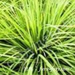 レモングラス油:lemon Grass
