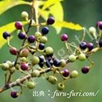 アオモジ果実油:リッエアクベバ油:Litsea Cubeba Fruit Oil