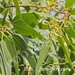 ユーカリシトリオドラ油:Eucalyptus citriodora